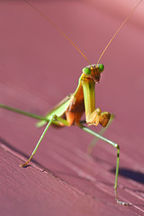 Mantis by Lopshire (Lopshire Photography) Tags: macro nature bug mantis insect newjersey nj sigma prayingmantis entomology macrophotography hunterdoncounty mantodea chinesemantis lopshirephotography sigma50th