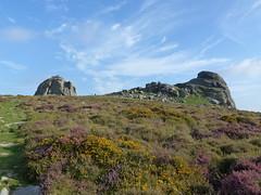 P1010330 (jrcollman) Tags: people plants places devon dartmoor haytor callunavulgaris ulexgallii cplant haytortohoundtor