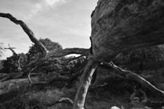 Alter Baum (fkorsen) Tags: tree nikon natur holz ste wald tod baum heide totes stamm baumstamm d5300 fkorsen