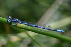 Coenagrion caerulescens (Hachimaki123) Tags: animal insect mediterranean damselfly insecto odonata bluet caballitodeldiablo odonato coenagrioncaerulescens