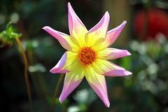 Autumn bloom (Heaven`s Gate (John)) Tags: pink autumn white flower color colour macro nature yellow garden petals clinton national trust bloom colseup baddesley 25faves johndalkin heavensgatejohn