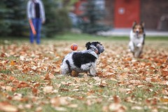 First Fall Catch 14 (Back in the Pack) Tags: portrait orange dog green calgary fall dogs leaves ball puppy fun nw play hannah sheltie elle catch 5d gromit bowness chuckit dogdaycare 70200mmf28lis dorkie backinthepack nwcalgary wwwbackinthepackca eos5dmarkii albertabarks