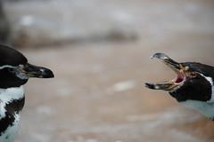 DSC02031.jpg (ntstnori) Tags: bird zoo penguin sony sigma  amusementpark saitama    tobuzoo f563 150500mm  miyashiromachi apo150500mmf563dgoshsm  99 slta99v minamisaitamagun sukamiyashiromachi