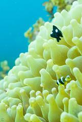 DSC_9537.jpg (d3_plus) Tags: sea sky fish beach japan scenery diving snorkeling  shizuoka   j1  izu anemonefish seaanemone     skindiving  clarksanemonefish  minamiizu      nikon1 hirizo   nakagi nikon1j1 1nikkor185mmf18  beachhirizo misakafishingport  anemonefishyg clarksanemonefishyg yg threespotdascllus threespotdascllusyg yg