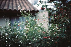 Our Love to Admire (morsini1) Tags: flores analog ventana 35mmfilm noedit canona1 hogar kodakportra160nc fd55mmf12ssc