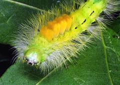 Tussock moth caterpillar (gillybooze) Tags: moth caterpillar ©allrightsreserved