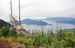 Gray Jay in flight (www.lirongertsman.com) Tags: ocean sea canada bird nature water birds animal vancouver canon landscape fly flying high scenery bc natural britishcolumbia wildlife north birding flight wide scenic wideangle lookout hike cypress oceans corvid seas cypressmountain songbird naturephotography grayjay corvidae perisoreuscanadensis whiskeyjack birdphotography wildlifephotography canonef400mmf56lusm nountain canoneos60d wideanglewildlife lironsnaturephotographyphotos lironsnaturephotographycom wideanglebirdphotography