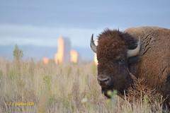 October 3, 2014 - Bison with Denver in the background. (Ed Dalton)