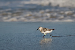Sanderling (jeffloomis1) Tags: surf leg band stoneharbor sanderling shorebird