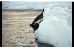 1998_12-007-04-G (becklectic) Tags: bird penguin antarctica 1998 iceberg icefloe views100 antarcticpenninsula worldtrekker