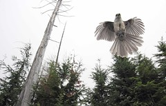 Gray Jay in flight (lironsnaturephotography.com) Tags: trees mountain canada mountains tree bird nature birds animal animals vancouver canon high jay bc natural britishcolumbia flight wide wideangle corvid province cypressmountain westvancouver naturephotography grayjay corvidae perisoreuscanadensis birdphotography wildlifephotography canonef400mmf56lusm canoneos60d wideanglewildlife lironsnaturephotographyphotos lironsnaturephotographycom