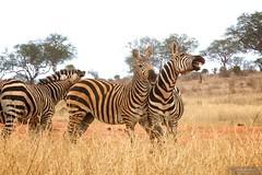 Zebra (Jon Newman) Tags: africa kenya wildlife safari zebra tsavo