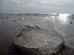 Plume2 (Michelle Seigneurin) Tags: mer plume le ocan olron littoral michelleseigneurin miseign miseign17