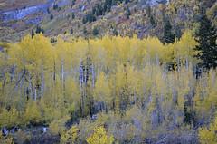 Aspen Trees (Hannah <3) Tags: trees mountain tree fall beautiful yellow leaf seasons bright hiking changing aspen leafs aspentrees