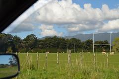 Savez-vous que les moutons jouent au rugby?