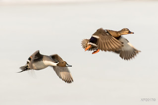 Pintail Mallard in Flight