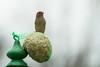 Passera. Female Sparrow. (omar.flumignan) Tags: passera femalesparrow houseoftits casadellecincie bird uccello canon eos 7d ef100400f4556lisusm ngc allnaturesparadise