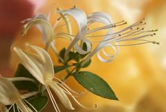 Honeysuckle (ForestPath) Tags: honeysuckle vine ohionativeplant white yellow delicate wonderfulperfume macro