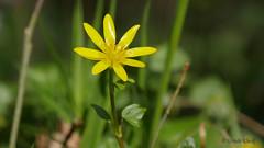 Scharbockskraut (Ranuculus ficaria) (Oerliuschi) Tags: flower scharbockskraut ranuculusficaria wildblume natur
