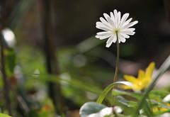 Splendente (lincerosso) Tags: fiori flowers luce light primavera spring splendore sottobosco bellezza armonia anemone