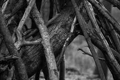 Make a home wherever you can (Anxious Silence) Tags: forest outdoor newforest hampshire bolderwooddeersanctuary countryside autumn woodland nature blackandwhite texture twigs sticks wood weathered tree bark branches branch
