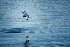 Sturzflug (αbraxas) Tags: kiel tiere möwe plummet sea gull ostsee germany schleswigholstein vogel bird baltic blue water ocean