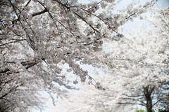 雪白世界 (Jill-Wang) Tags: busan 釜山 櫻花 sakura m9 50mm noctilux sunlight sun 三樂江邊公園