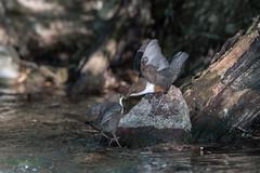04-7669 (fix.68) Tags: cincleplongeur couple offrande oiseau