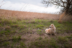 Pomeranian of the plains (99/365) (severalsnakes) Tags: 365 fannie kansas m3528 pentax pomeranian shawnee shawneemissionpark dog dogpark k1 manual manualfocus