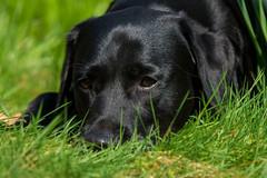 In grass (Flemming Andersen) Tags: animal black grass outdoor dog eyes green hund labrador nature pet hurupthy northdenmarkregion denmark dk