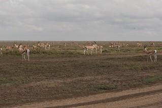 IMG_5044a - Thomson's Gazelle  (Eudorcas thomsonii) - Ndutu to Serengeti, Tanzania - between GPS 389-390