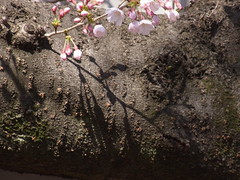 Another big Somei-yoshino tree (nofrills) Tags: flora floral plant plants flower flowers blossom blossoms cherry cherryblossom cherryblossoms beginning season spring 桜 ソメイヨシノ urbantree japan bud buds shadow