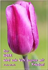 Der Herr wird segnen /  The Lord will bless (Martin Volpert) Tags: mavo43 tulpe tulipa segen segnen christentum christian christianity blüte blumen flor cvijet kvet blomster flower floro õis lore kukka fleur bláth virág blóm fiore flos žiedas zieds bloem blome kwiat floare ciuri flouer cvet blomma çiçek pflanze magnoliopsida monokotyledonen liliengewächse lilioideae liliales