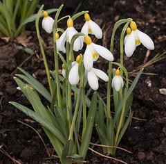 Sarah Dumont (phillipbonsai) Tags: benington snowdrops aconite hertfordshire sarahdumont galanthusplicatus