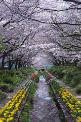 SAKURA (Keiichi.O) Tags: nikon d800 ニコン 一眼レフ japan landscape nature 風景 東京カメラ部 神奈川カメラ部 ファインダー越しの私の世界 カメラ好きな人と繋がりたい 写真好きな人と繋がりたい loversnippon lovesnippon 1x flickr 500px tokyocameraclub