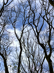 Trees (CJPhotography UK) Tags: nature natur natural trees tree treeline sky skyline skycap cloudscape landscape blue shadows lines branches sticks wood woodland forest clouds cloud cloudy shadow shade light lighting spring countryside canon telefoto plants plant flora