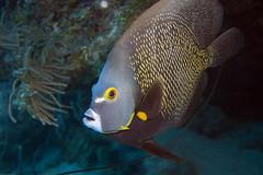 French Angelfish (Jeff Mitton) Tags: frenchangelfish marine tropical fish scuba reef caribbeansea earthnaturelife wondersofnature