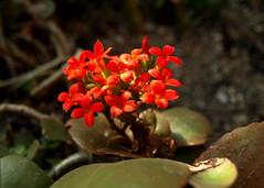 Kwitnący sukulent (tomek034 (Thank you for the 1 300 000 visits)) Tags: ogródbotaniczny wrocław polska sukulent kwiaty