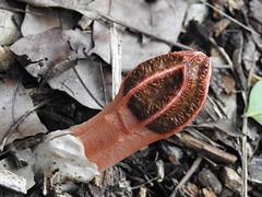 Lysurus mokusin (Jackson Nugent) Tags: basidiomycota fungus fungi mushroom stinkhorn
