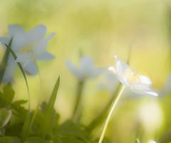Anémone des bois (domi2259) Tags: nature ostricourt nordpasdecalaispicardie france fr fleur blanche anémone