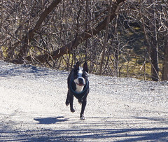 Bully doing one of the trails in Old Chelsea (lezumbalaberenjena) Tags: old chelsea gatineau quebec spring time springtime primavera dog perro chien chiot boston terrier bully