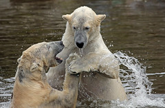 polarbear Ouwehands BB2A3270 (j.a.kok) Tags: polarbear beer bear polarbaer ijsbeer arctic predator mammal zoogdier ursusmaritimus pool noordpool ouwehands ouwehandsdierenpark ouwehand ouwehandszoo