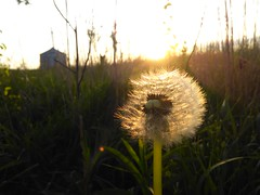 curiosity...... (Emilynx) Tags: seed seeds sunset glow grass green nature natura natur natural dandelions flickr photography pretty focus backlight