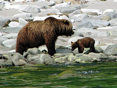 brown bear + cubs on the shoreline at cape kambal'nyy, kamchatka 8 (Russell Scott Images) Tags: cape mys kambal'nyy kamchatkapeninsula russianfareast russia kamchatkabrownbearursusarctossspberingianus cub