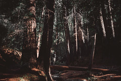 Redwoods. Big Sur, USA (Marji Lang Photography) Tags: america american bigsur bigsurregion california californiahighway1 californiastatepark juliapfeiffer juliapfeifferburnsstatepark marjilang northamerica outdoors pacificcoast travelphotography us usa unitedstates unitedstatesofamerica colorimage composition documentary forest foresttrail gianttrees greenery holidaydestination nationalpark nature naturelover pines pinewoods redwoods roadtrip statepark trail travel trees trekking woods