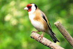 Goldfinch (Feathers (Joe)) Tags: featherswildbirdcare salehurst eastsussex garden birdhide birdwatching birds nature wildlife canonsx50hs finch