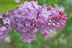 Lilac (kendoman26) Tags: lilac flower spring sonyalpha sonya58 sonyslta58 sonyphotographing sal30m28 closeup topazdetail topazsoftware