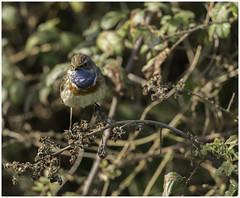 Gorge bleue (domi2259) Tags: gorgebleue nature chant oiseau espèce plume bleu gorge