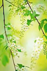 Bird cherry tree in blossom (♥Oxygen♥) Tags: tree bird green white spring flower blossom springtime closeup cherry scented plant branch nature birdcherry softfocus soft nobody floral petal aroma seasonal yellow flowerhead clean macro season twig temperateflower blur backgrounds selectivefocus fullframe beautiful delicate botany stamen freshness sky blooming chokecherry natural hagberry leaf glossy bright bloom avium background outdoor