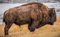 Bison in Yellowstone National Park, Wyoming, USA (vonHabsburg) Tags: usa vereinigtestaaten unitedstates america amerika nature natur yellowstone yellowstonenationalpark yellowstonenp bison buffalo büffel grass river fireholeriver animal tier wild wyoming